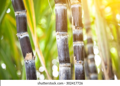purple sugar cane in the field