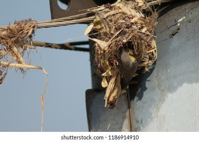 Purple sunbird (Cinnyris asiaticus). Female building her nest. Sasan Gir. Gujarat. India.