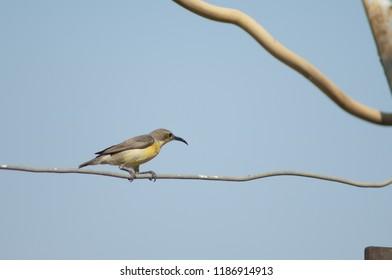 Purple sunbird (Cinnyris asiaticus). Female with material for her nest. Sasan Gir. Gujarat. India.