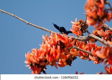 Purple sunbird (Cinnyris asiaticus) on a flame-of-the-forest (Butea monosperma). Male in the breeding season. Gujarat. India.