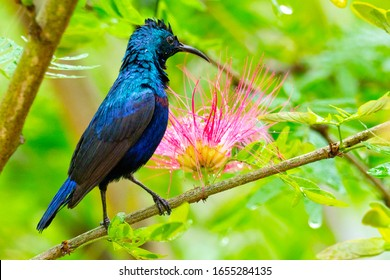 Purple Sunbird, Cinnyris asiaticus, Riverine Forest, Royal Bardia National Park, Bardiya National Park, Nepal, Asia