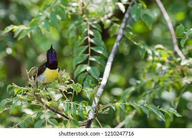 The purple sunbird (Cinnyris asiaticus) is a small sunbird. Like other sunbirds they feed mainly on nectar, although they will also take insects, especially when feeding young. They have a fast and di