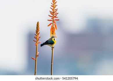 Purple Sunbird in eclipse plumage collecting nectar from orange colored Alovera flower