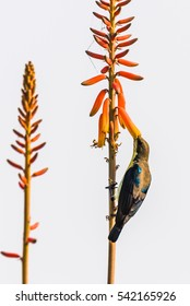 Purple Sunbird in eclipse plumage perched and taking nectar from alovera flower