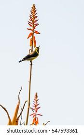 Purple Sunbird in eclipse plumage perched on stem of Alovera