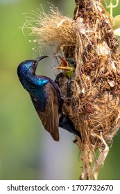 Purple Sunbird (Male) feeding baby bird in the bird's nest.