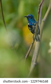Purple sunbird (Nectarinia asiatica). Male. Keoladeo Ghana. Bharatpur. Rajasthan. India.