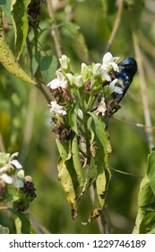 Purple sunbird (Nectarinia asiatica). Male feeding on flower nectar. Keoladeo Ghana. Bharatpur. Rajasthan. India.