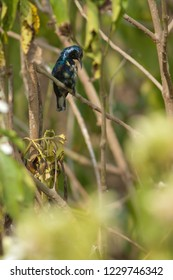 Purple sunbird (Nectarinia asiatica). Male preening. Keoladeo Ghana. Bharatpur. Rajasthan. India.