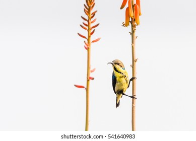 Purple Sunbird perched on stem of Alovera flower