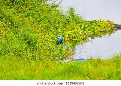 Purple Swamphen bird at marshland