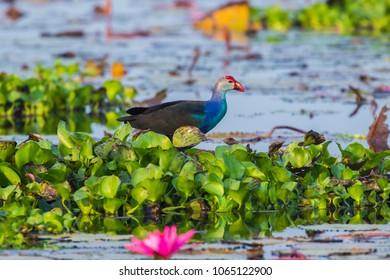 Purple Swamphen (Porphyrio porphyrio) .