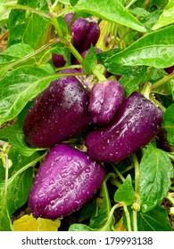 purple sweet peppers ripening in a kitchen garden