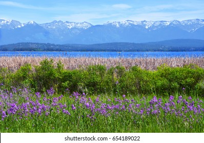 Purple sweet rocket wildflowers bloom in front of rows of wild roses, cattails, Flathead Lake and the Swan Mountain Range near Somers, Montana
