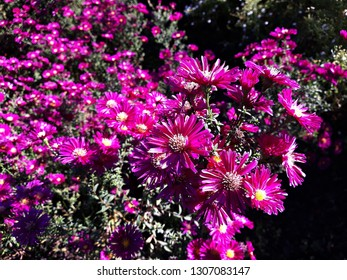 Purple Symphyotrichum Novae-Angliae (formerly Aster Novae-Angliae), commonly known as the New England aster, hairy Michaelmas-daisy or Michaelmas Daisy flowers. Family: Asteraceae.