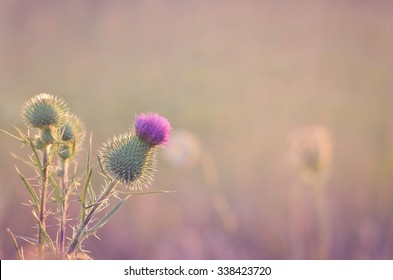 Purple Thistle Photo