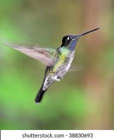 purple throated mountain gem hummingbird male hovering, costa rica