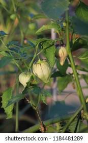 Purple Tomatillo Plant