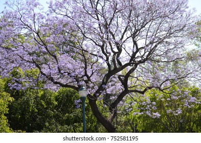 Purple tree, jacaranda from Mexico city