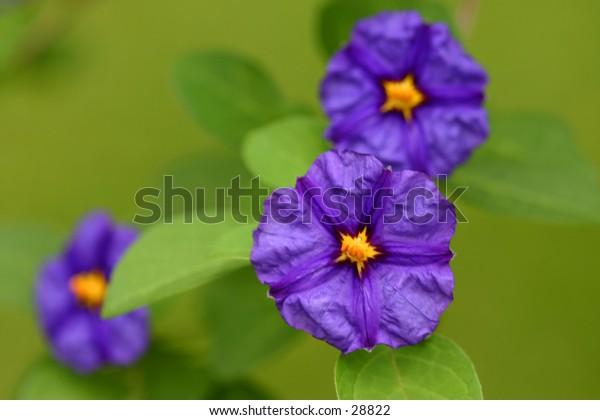 Purple Triplets