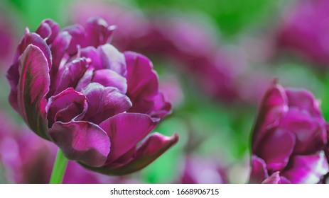 purple tulip buds with fresh green leaves in soft light on blur background. Holland tulip flowers in the park in spring. Macro