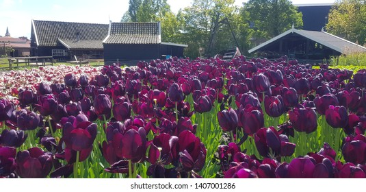 Purple tulip field in the Netherlands