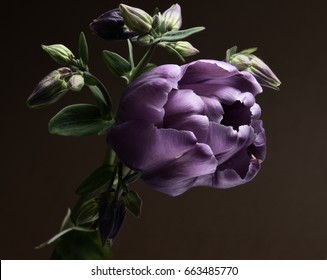 Purple tulip and flowers catchment on a dark background.