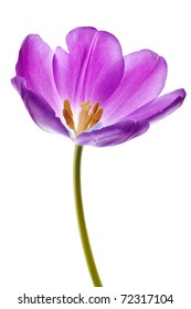 purple tulip isolated on white background