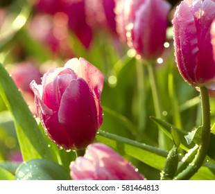 purple tulip with morning dew drop, economic flowering plant in commercial farm, copy space for text, new day greeting concept