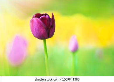 Purple tulip on the background of green grass close-up in sunny summer day.