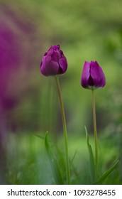 Purple Tulip stems outdoor