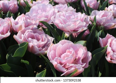 purple tulips in the field