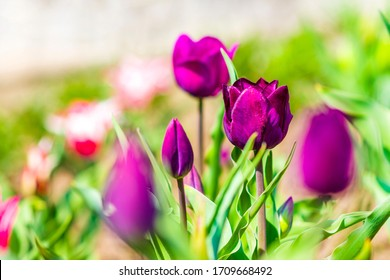 Purple tulips grow on a flower bed