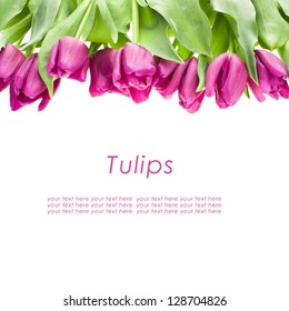purple tulips isolated on a white background with sample text