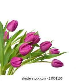 purple tulips isolated on a white background