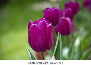 Purple tulips on a green background