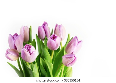Purple tulips on a white background.