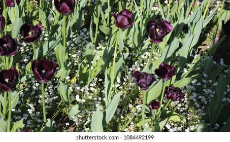 purple tulips in park in prague czech republic nature in spring