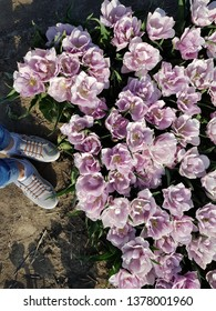 purple tulips with sneakers