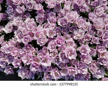 purple tulips view