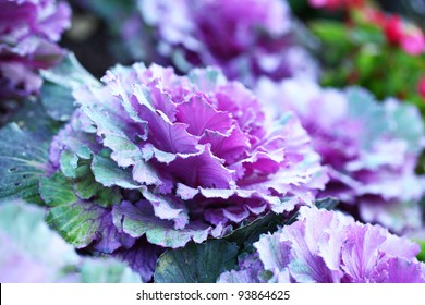 Purple vegetable cabbage