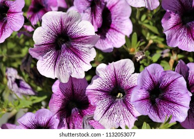 purple veined petunia's
