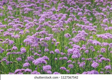 Purple Verbena flower field.