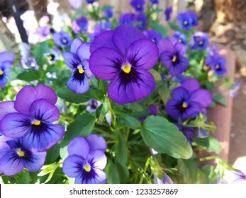 Purple Viola flowers
