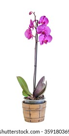 Purple, violet branch orchid  flowers, Orchidaceae, Phalaenopsis known as the Moth Orchid, abbreviated Phal. Brown vase. White background.