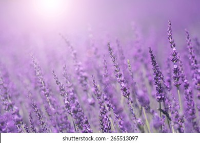 Purple violet color sunny blurred lavender flower field closeup background. Selective focus used.