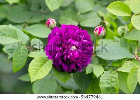 Purple Violet Flower Rose Cardinal De Stock Photo Edit Now