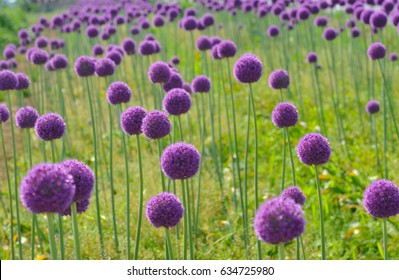 Purple and violet flowers of giant onion like a ball. Allium giganteum.