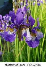 Purple and violet lilies in Finnish garden summer 2019