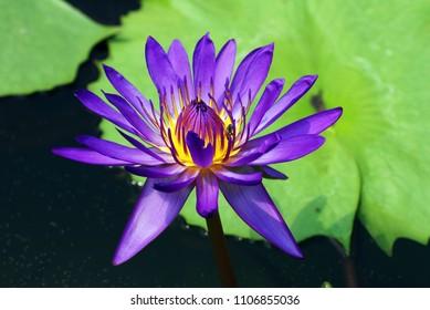 Purple Violet Lotus flower or Nymphaea nouchali or Nymphaea stellata is a water lily of genus Nymphaea.